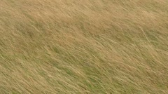 Dry grass blowing in the wind, seamless loop. Stock Footage