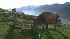 Cows Grazing On Alpine Meadow 2 Stock Footage