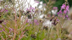 Fireweed flowers close-up hi-def video - stock footage