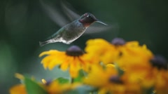 Hummingbird in black-eyed susans Stock Footage