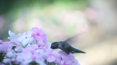 Pale pink impatiens with hummingbird Stock Footage