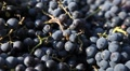 Bees Eating Purple Wine Grapes Collect in Autumn Beautiful Day Footage