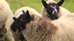 Flock of black headed sheep close together in a field, close up heads. Stock Footage