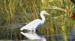 Great white heron walking in reeds and hunting - stock footage
