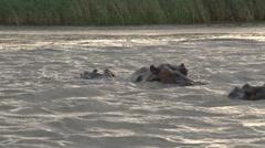 Hippo Stock Footage