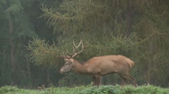 Red deer brut Stock Footage