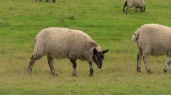 Following a sheep as is joins others to graze. Group of three. Stock Footage