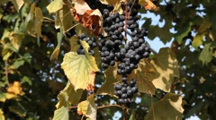 Hanging Delicious Purple Wine Grapes Ready For Collect in Autumn Beautiful Day Stock Footage