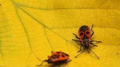 Macro, Red Beetles Stock Footage