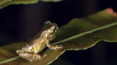 Short-headed Treefrog (Dendropsophus parviceps) - stock footage