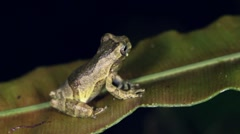 Short-headed Treefrog (Dendropsophus parviceps) Stock Footage