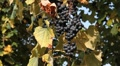 Hanging Delicious Purple Wine Grapes Ready For Collect in Autumn Beautiful Day Footage