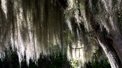 Sunlight shines through Spanish moss hanging from trees in the Southern USA. Stock Footage