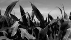 Stock Footage - Corn in field - close up - black and white Stock Footage