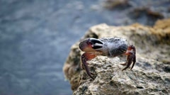 The crab starts up bubbles, sitting on a stone.NTSC 1920x1080 HD - stock footage
