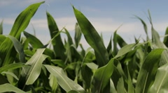Stock Footage - Corn in field - close up - blue sky Stock Footage