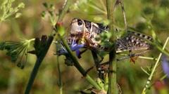 Locusts eat blue leaves (macro) Stock Footage