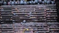 Old Style Making Wine, Grapes Being Pressed To Create Must and Pomace Stock Footage