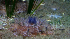 Jellyfish 20111003-091502 Stock Footage