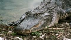 Alligator resting on bank CU - stock footage
