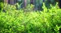 Green bush in the summer HD Footage