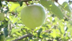 golden delicious apple hanging on tree - stock footage