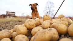 Dog and potatoes Stock Footage
