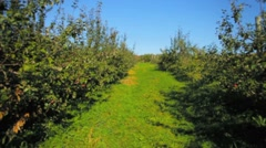 Walking down rows of apple trees in orchard towards young trees Stock Footage