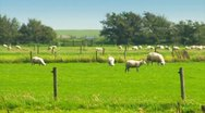 Sheep In A Meadow Stock Footage