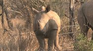 Stock Video Footage of Rhino
