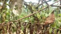 Stock Video Footage of Leaf mimic katydid