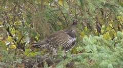Spruce Grouse Alert in Tree Stock Footage