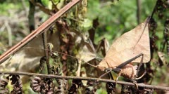 Leaf mimic katydid Stock Footage