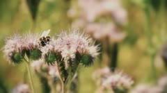 Natural scene with Purple lucerne and bumble bee Stock Footage
