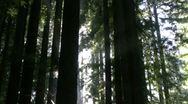 Redwoods Forest Sunlight Timelapse 03 Stock Footage