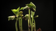 Stock Video Footage of Time-lapse of growing haricot