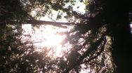 Stock Video Footage of Redwoods Forest Sunlight  05 Focus In & Out