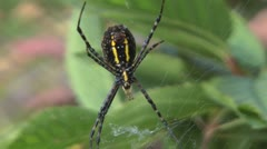 Yellow Garden Spider Stock Footage