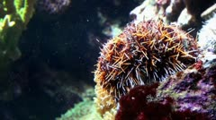 Sea Urchin 20111003-093351 Stock Footage