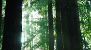 Stock Video Footage of Redwoods Forest Sunset 02 Timelapse Loop SD wide