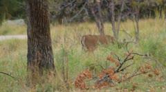 A buck deer walks through the underbrush Stock Footage