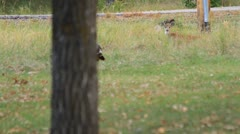 A deer watches a pair of wild turkeys pass by Stock Footage