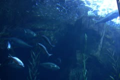 Underwater Ocean California Coast 01 Whitefish in Kelp Forest Stock Footage