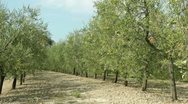 Stock Video Footage of Tuscan olive trees, Italy