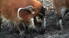 A red river hog forages in the mud. Stock Footage