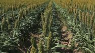 Stock Video Footage of Sorghum Field