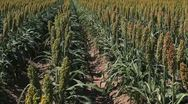 Stock Video Footage of Sorghum Plants