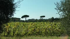Sunflowers in Tuscany, Italy - stock footage