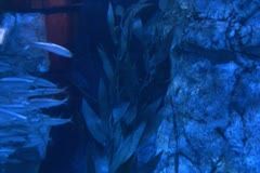 Underwater Ocean California Coast 04 Whitefish in Kelp Forest - stock footage