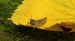 Macro Grasshopper Exploring the Beautiful Nature Stock Footage